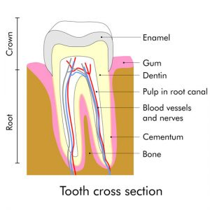 Root canal cross section graphic
